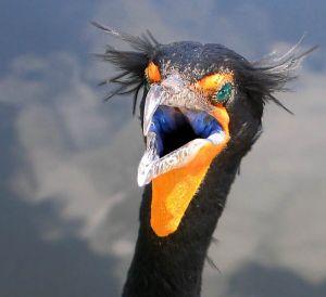 cormorant-32206