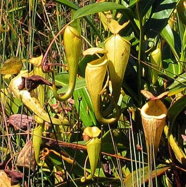nepenthes-081205