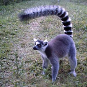 ringtail-080905